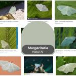 Margaritaria green